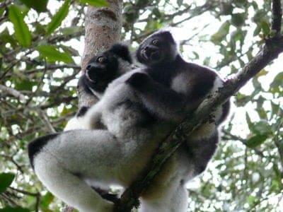 A Indri