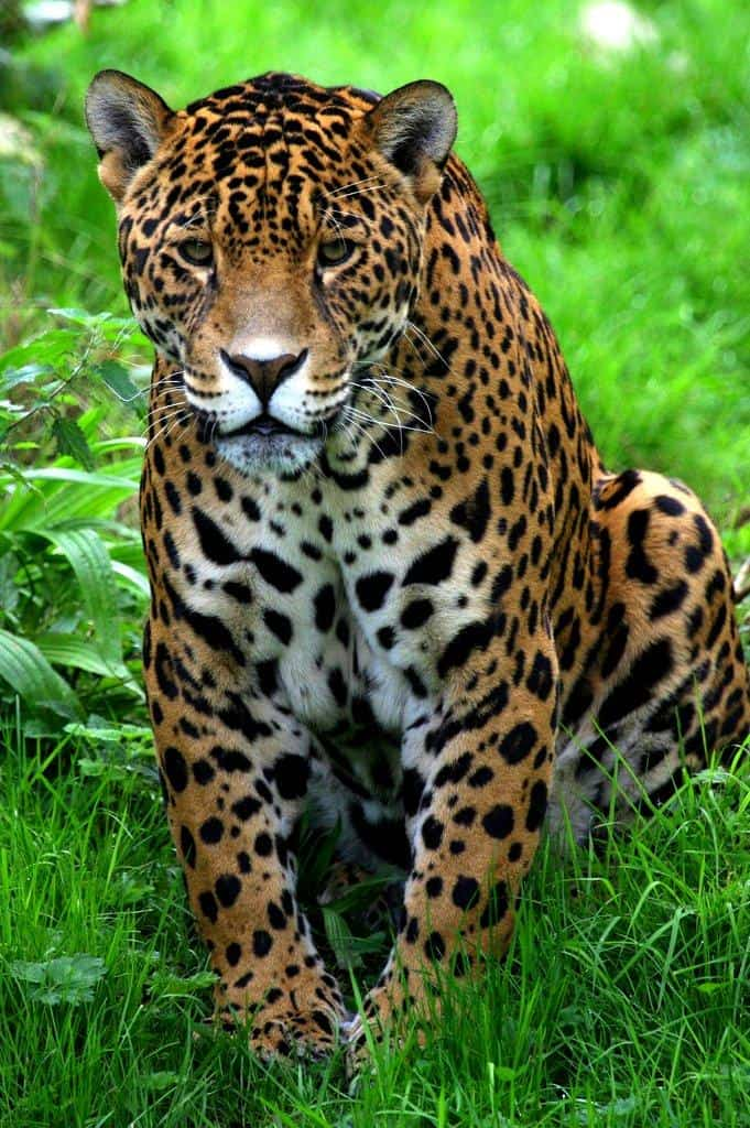 Picture 6 of 11 - Jaguar (Panthera Onca) Pictures & Images ...