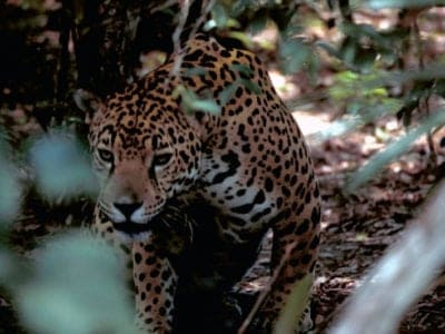 A Jaguar