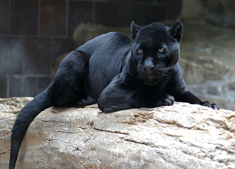 View Original Jaguar Image