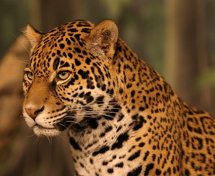 http://a-z-animals.com/media/animals/images/original/jaguar6.jpg