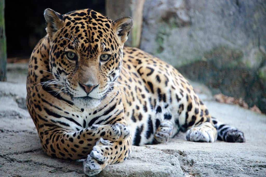 Jaguar (Panthera Onca) Pictures & Images