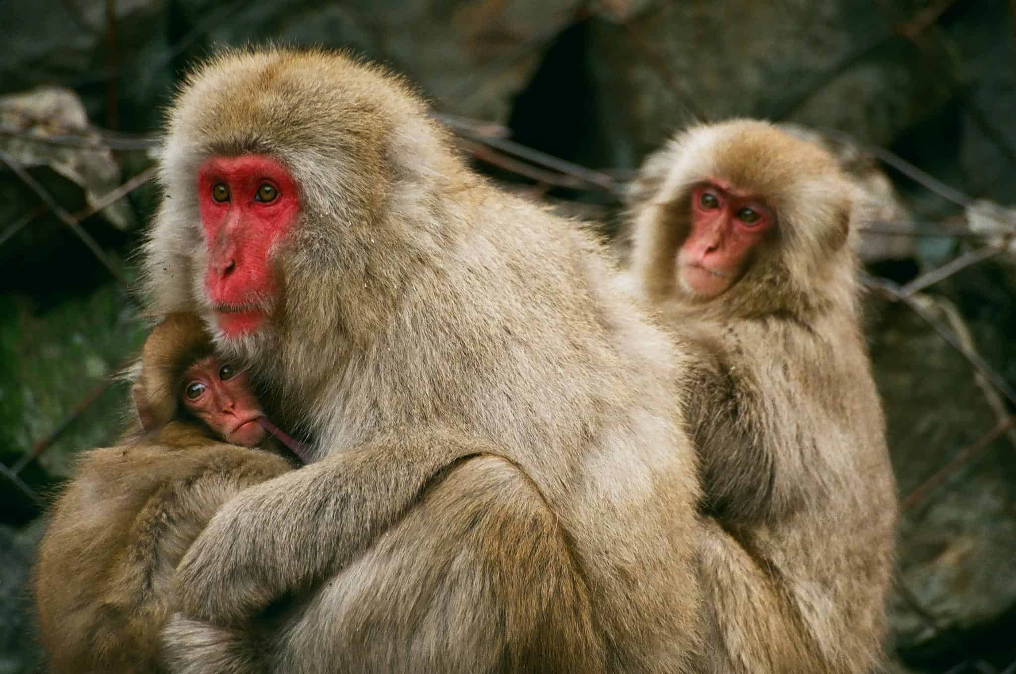 the japanese macaque The japanese macaque this is a video of the japanese macaque taken from the bbc's new life documentary series.