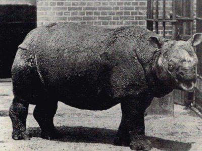 A Javan Rhinoceros