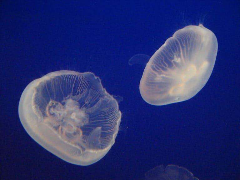 Moon Jelly fish (Aurelia aurita)