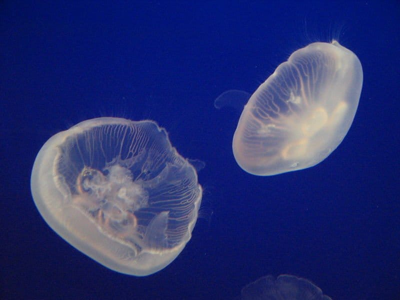 Picture 6 of 9 jellyfish cnidaria scyphozoa aurelia for Jelly fish for sale