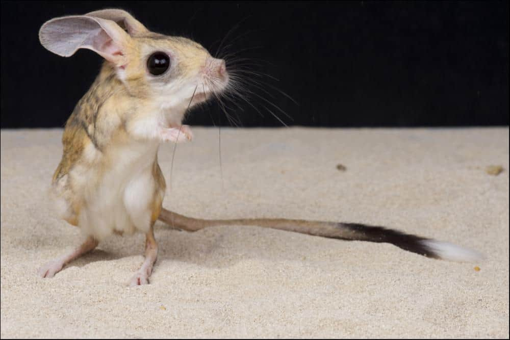 jerboa (Dipodidae) jerboa on sand