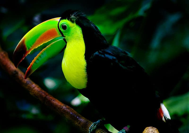 a Keel Billed Toucan