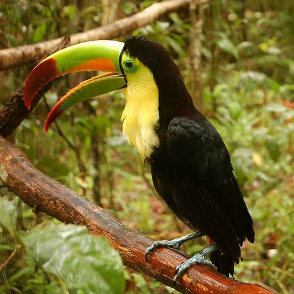 Keel Billed Toucan Also Known