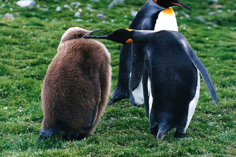 Picture 5 of 6 - King Penguin (Aptenodytes Patagonicus) Pictures ...