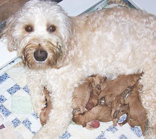 of 5 - Pictures and Images - Labradoodle - Animals - A-Z Animals