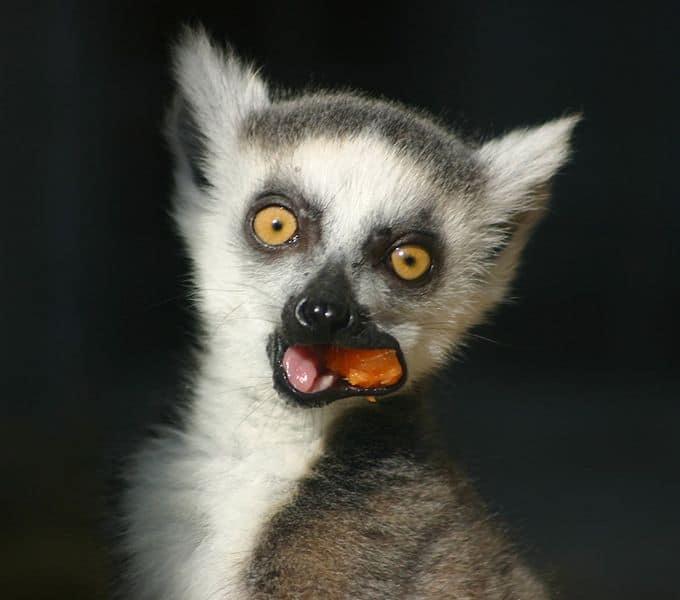 Lemur (Lemur Catta) - Animals - A-Z Animals