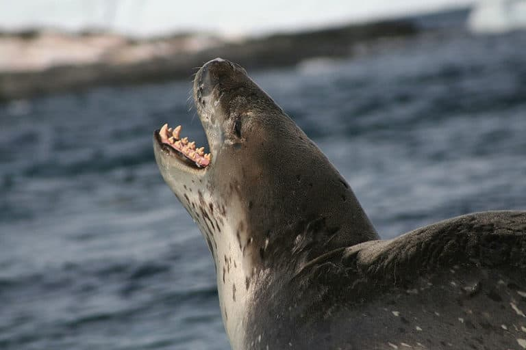 Leopard Seal going to the water