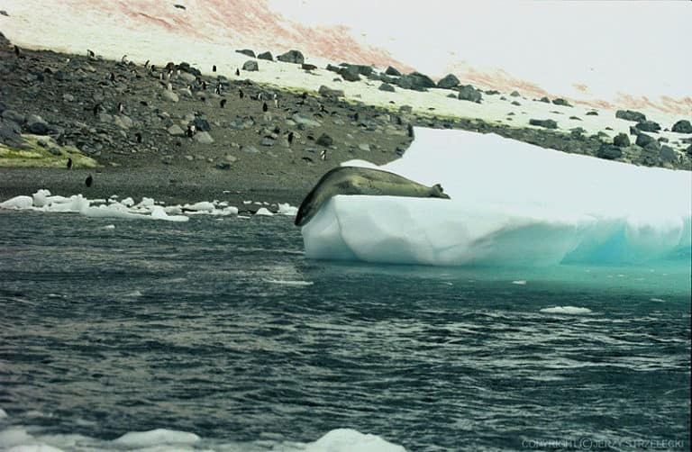 Leopard Seal preparing to go into the sea