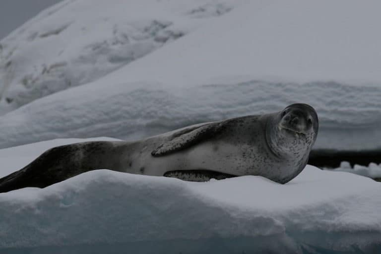 Leopard Seal lying on ice