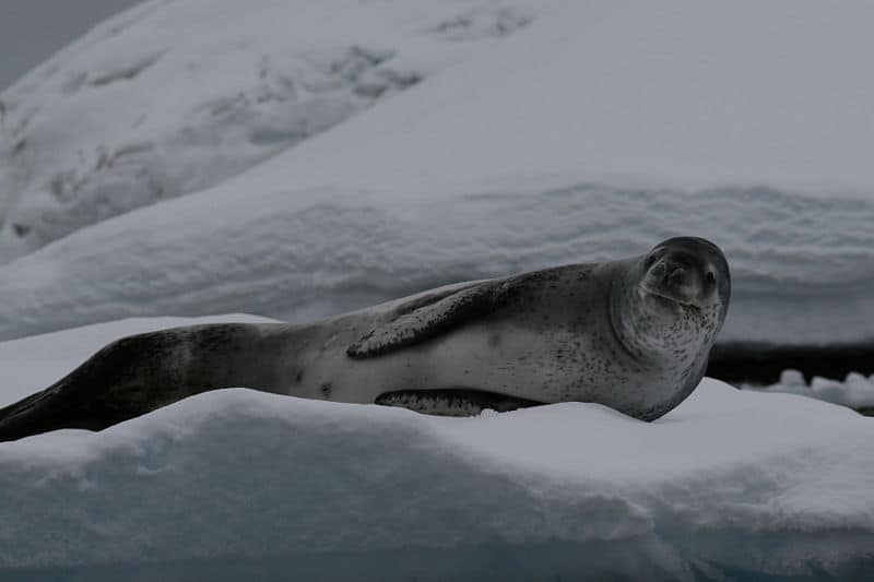 Picture 3 of 5 - Leopard Seal (Hydrurga Leptonyx) Pictures ...