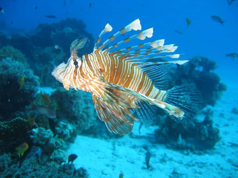Lionfish Seen Here In An Upside Down Position This 10 Fish Is Both Large And Charge Of The Tank Are Underwater Acrobats Will Swim