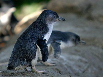 A Little Penguin