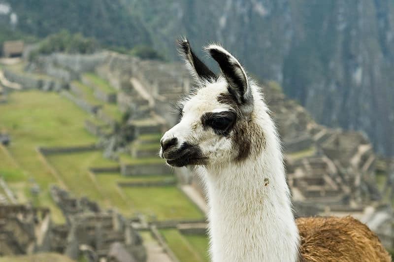 Llama Lama Glama Animals A Z Animals