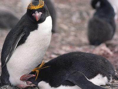 A Macaroni Penguin