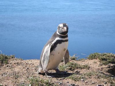 A Magellanic Penguin
