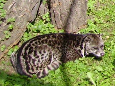 A Malayan Civet