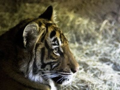 A Malayan Tiger