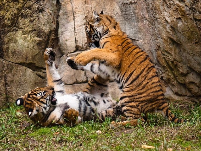 Two Malayan Tigers playing