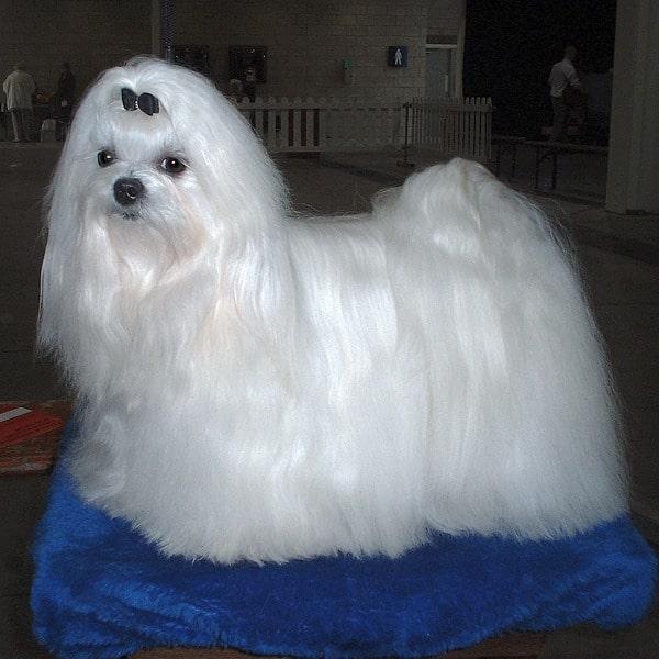 Maltese dog posing in the blue studio background.