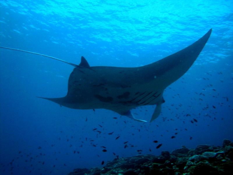 Manta Ray swimming among fish