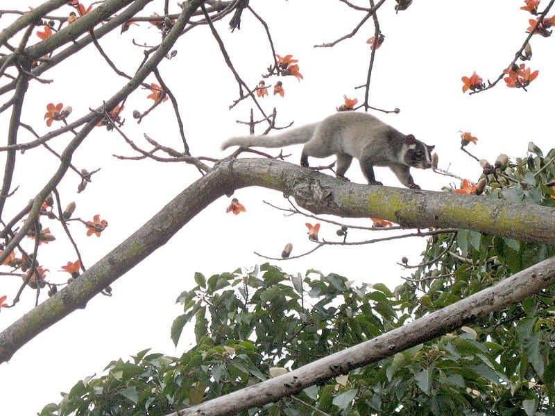 Picture 1 of 1 - Masked Palm Civet (Paguma Larvata ...