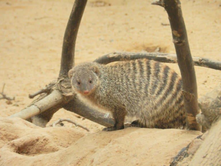 Mongoose in Barcelona Zoo