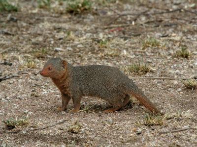 A Mongoose