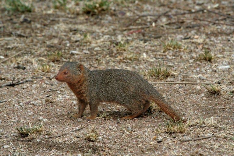 Mongoose standing on ground