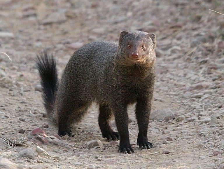 Mongoose standing alert