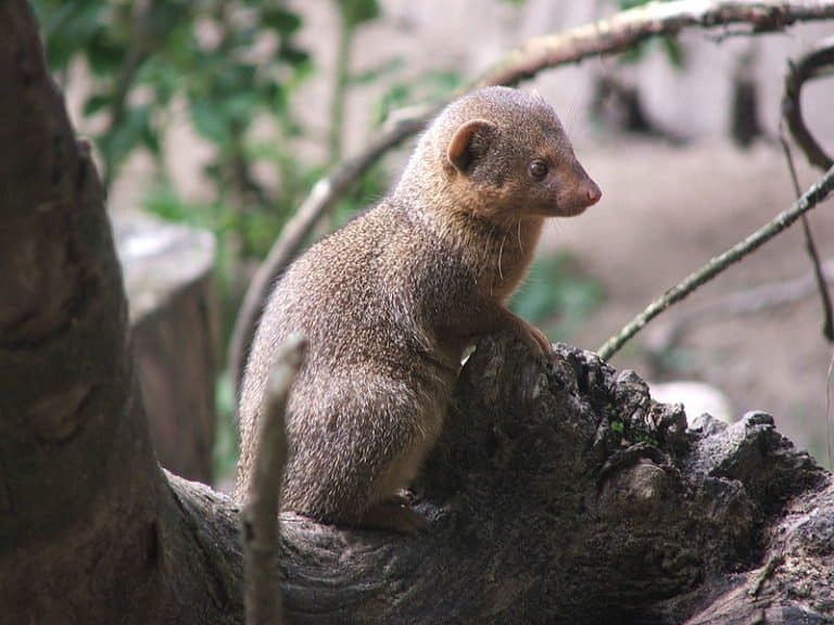 Mongoose in front of rock