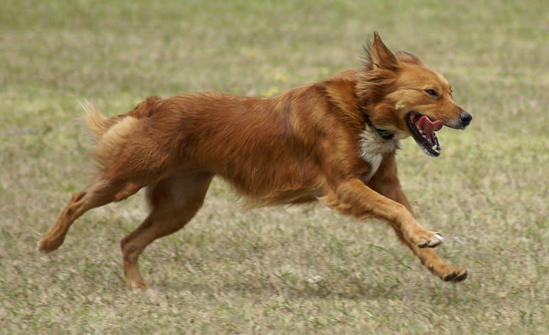 Best Small Short Haired Dogs For Australia
