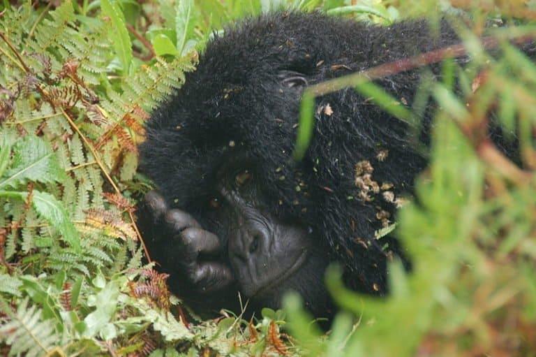 Mountain Gorilla resting