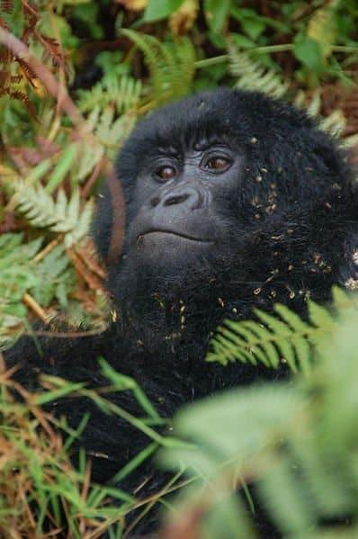 Mountain Gorilla resting under tree