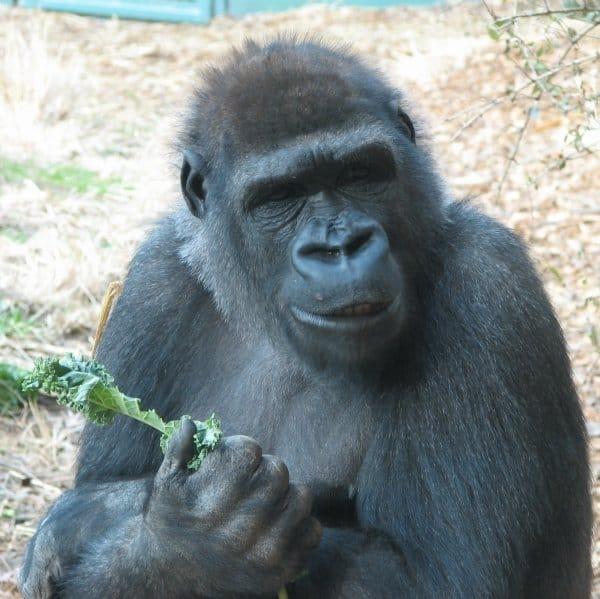 Mountain Gorilla eating leaf