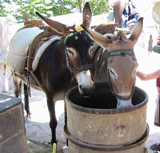 Two mules drinking water