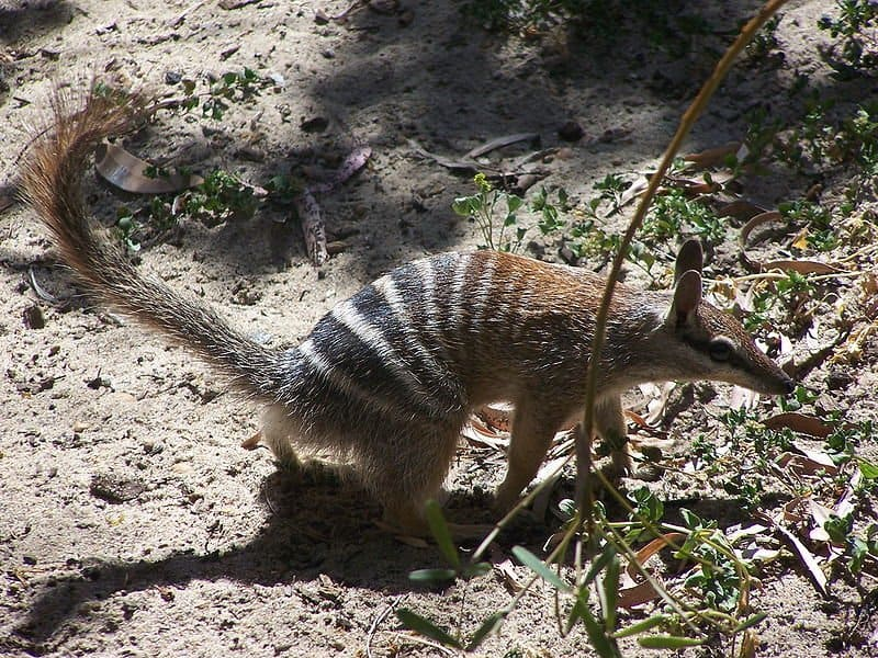 Numbat walking on the ground
