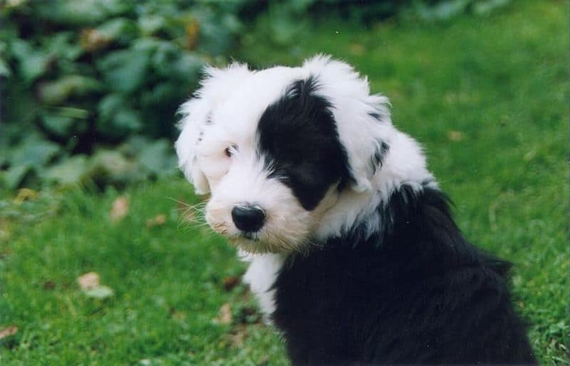 Picture 1 of 4 - Old English Sheepdog Pictures & Images ...