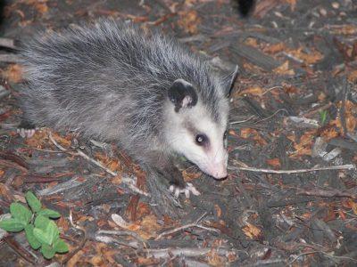 A Opossum