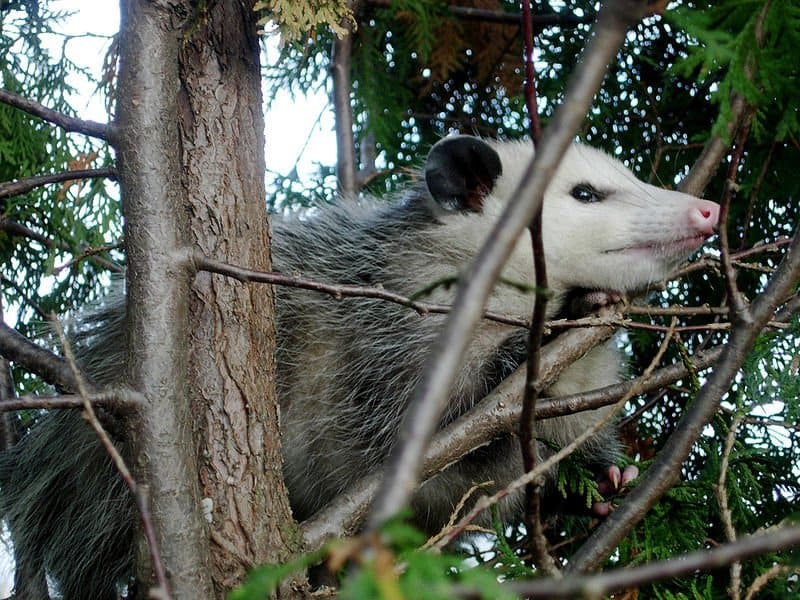 Virginia Opossum (Didelphis virginiana) in a juniper tree in northeastern Ohio.