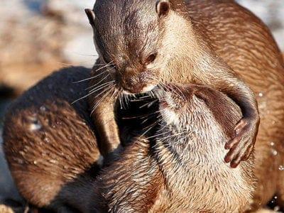 A Otter