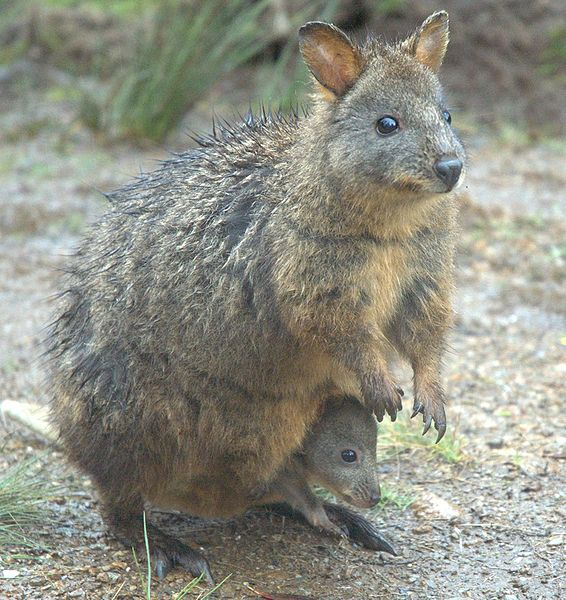 Pademelon mother and child