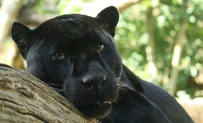 Picture 1 of 6 - Panther (Panthera Pardus, Panthera Onca) Pictures ...