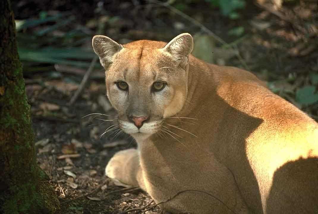Panther (Panthera Pardus, Panthera Onca) - Animals - A-Z Animals