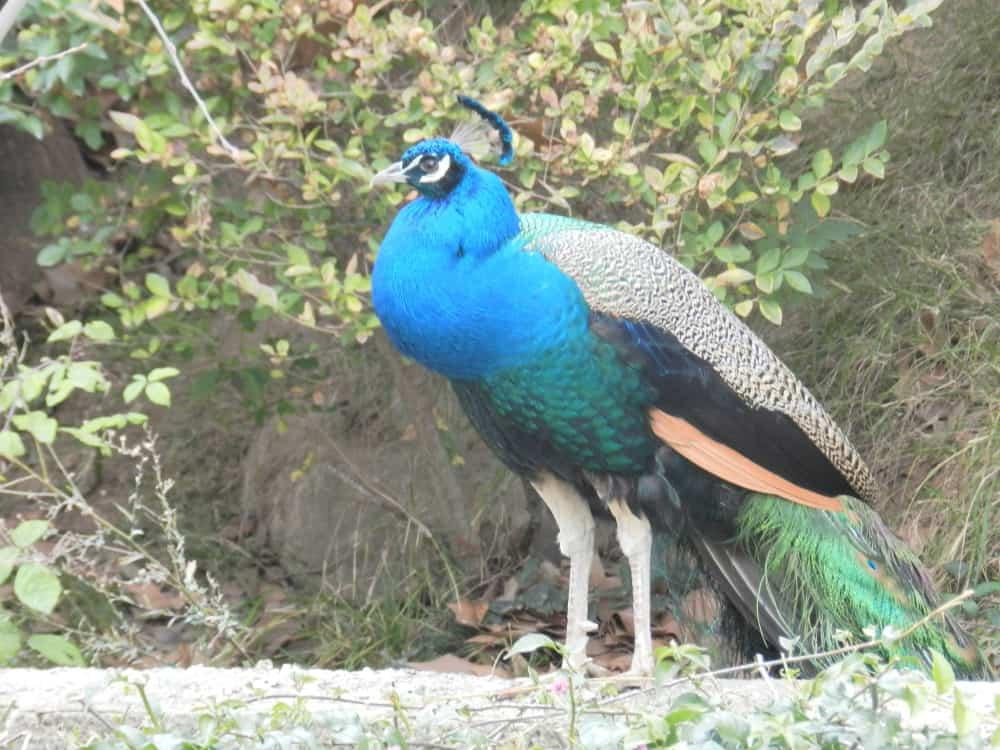 peacock pavo cristatus animals a z animals